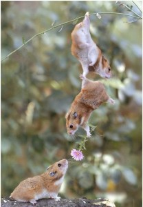 Two hamsters dangle from a twig presenting another hamster with a flower